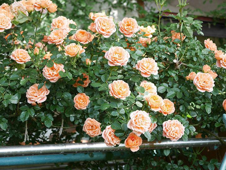 スイートドリーム(Sweet Dream)の花がたくさん咲いた。ツルバラ。2021年-076.jpg