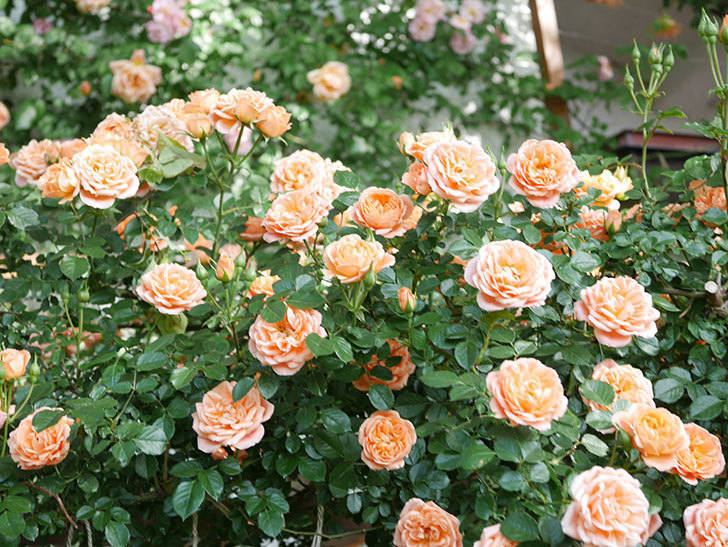 スイートドリーム(Sweet Dream)の花がたくさん咲いた。ツルバラ。2021年-077.jpg