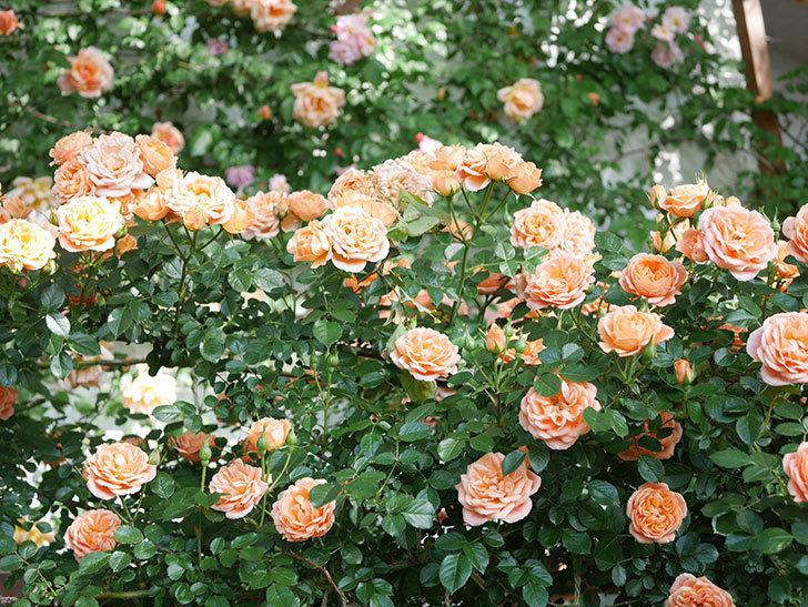 スイートドリーム(Sweet Dream)の花がたくさん咲いた。ツルバラ。2021年-078.jpg
