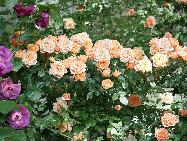 スイートドリーム(Sweet Dream)の花がたくさん咲いた。ツルバラ。2021年-079.jpg