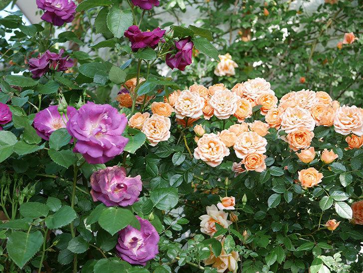 スイートドリーム(Sweet Dream)の花がたくさん咲いた。ツルバラ。2021年-080.jpg