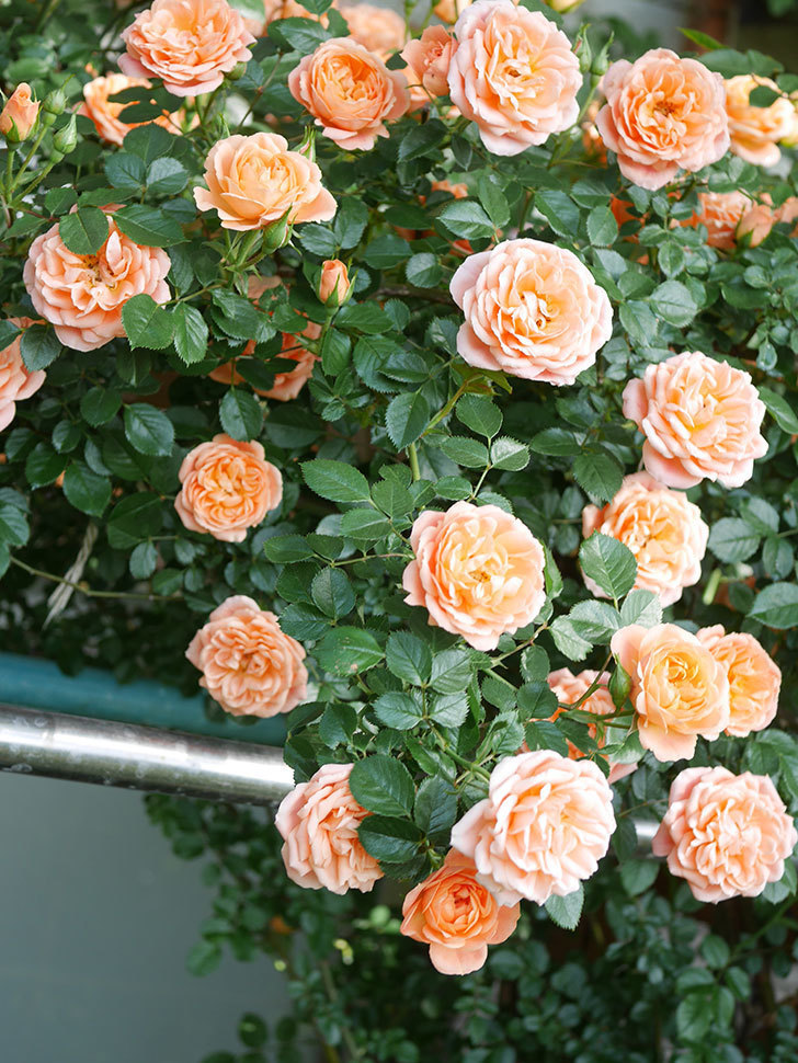 スイートドリーム(Sweet Dream)の花がたくさん咲いた。ツルバラ。2021年-082.jpg