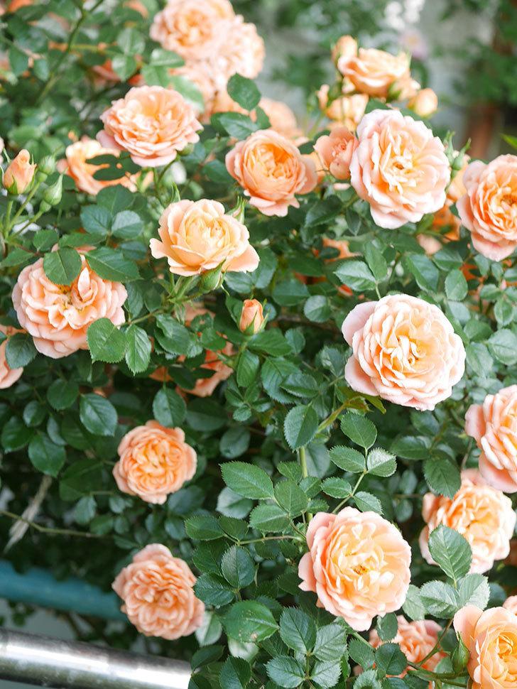 スイートドリーム(Sweet Dream)の花がたくさん咲いた。ツルバラ。2021年-083.jpg