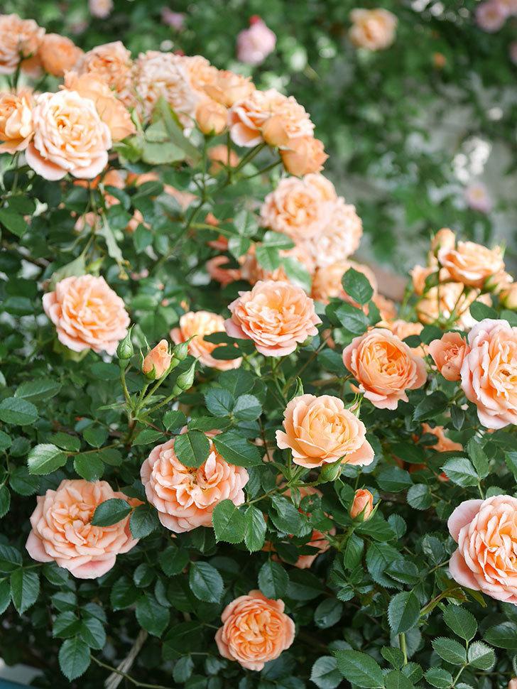 スイートドリーム(Sweet Dream)の花がたくさん咲いた。ツルバラ。2021年-084.jpg