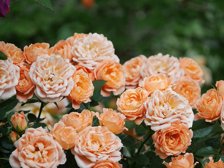 スイートドリーム(Sweet Dream)の花がたくさん咲いた。ツルバラ。2021年-085.jpg