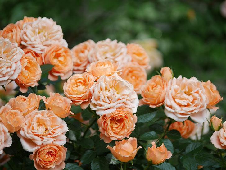 スイートドリーム(Sweet Dream)の花がたくさん咲いた。ツルバラ。2021年-086.jpg