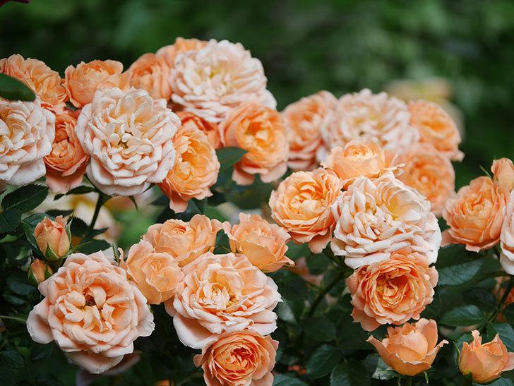 スイートドリーム(Sweet Dream)の花がたくさん咲いた。ツルバラ。2021年-087.jpg