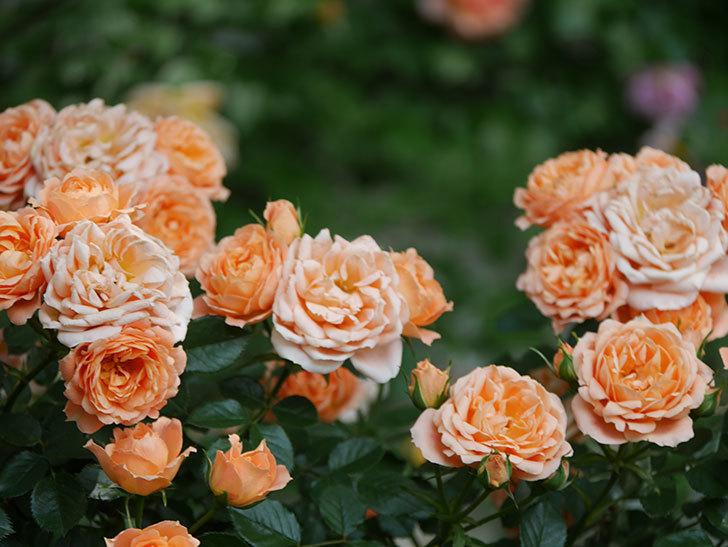 スイートドリーム(Sweet Dream)の花がたくさん咲いた。ツルバラ。2021年-088.jpg