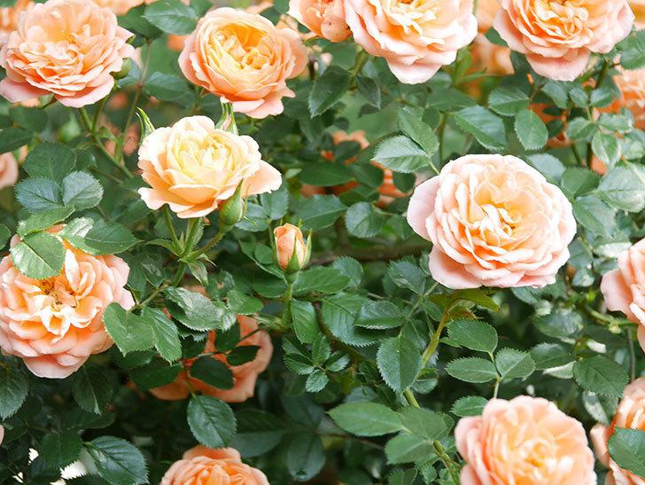スイートドリーム(Sweet Dream)の花がたくさん咲いた。ツルバラ。2021年-089.jpg