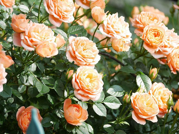 スイートドリーム(Sweet Dream)の花がたくさん咲いた。ツルバラ。2021年-090.jpg
