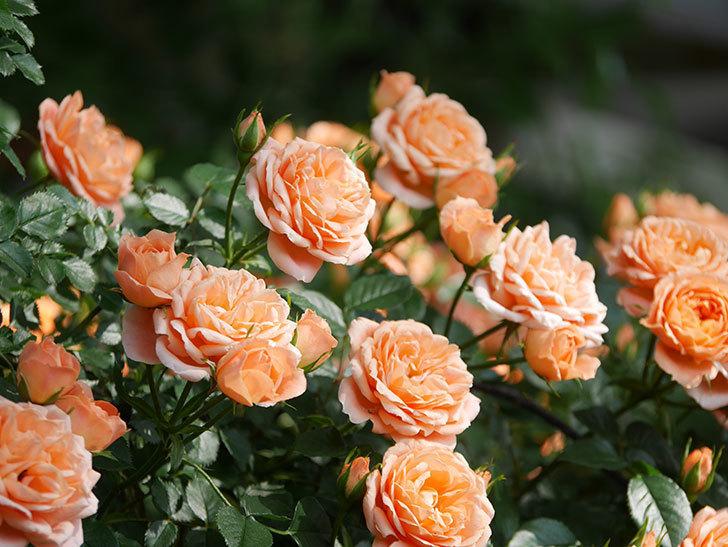 スイートドリーム(Sweet Dream)の花がたくさん咲いた。ツルバラ。2021年-091.jpg