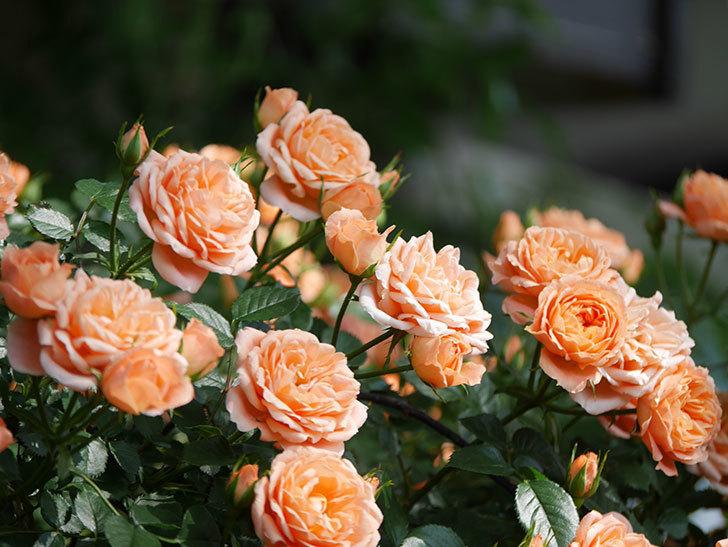 スイートドリーム(Sweet Dream)の花がたくさん咲いた。ツルバラ。2021年-092.jpg