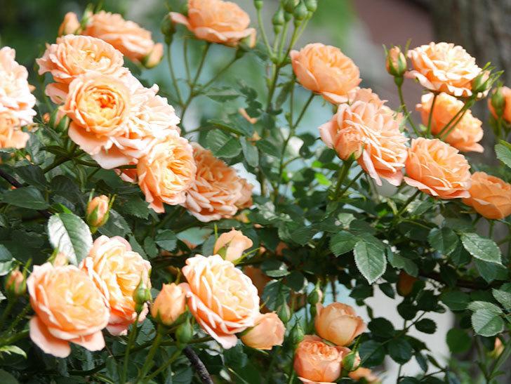 スイートドリーム(Sweet Dream)の花がたくさん咲いた。ツルバラ。2021年-093.jpg