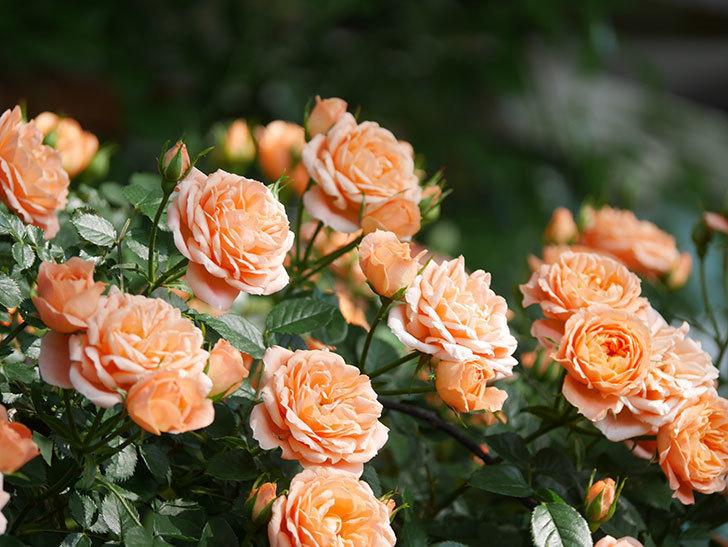スイートドリーム(Sweet Dream)の花がたくさん咲いた。ツルバラ。2021年-094.jpg