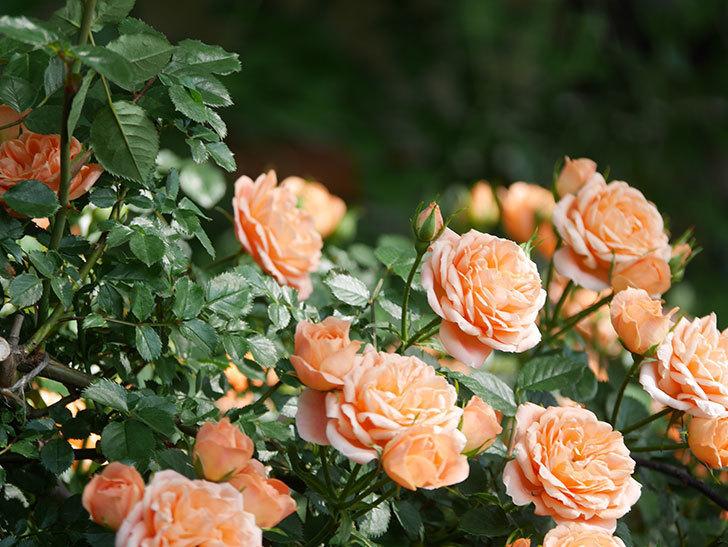 スイートドリーム(Sweet Dream)の花がたくさん咲いた。ツルバラ。2021年-095.jpg