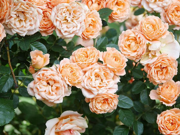 スイートドリーム(Sweet Dream)の花がたくさん咲いた。ツルバラ。2021年-096.jpg