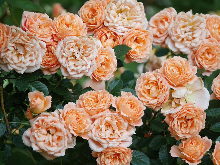 スイートドリーム(Sweet Dream)の花がたくさん咲いた。ツルバラ。2021年-097.jpg