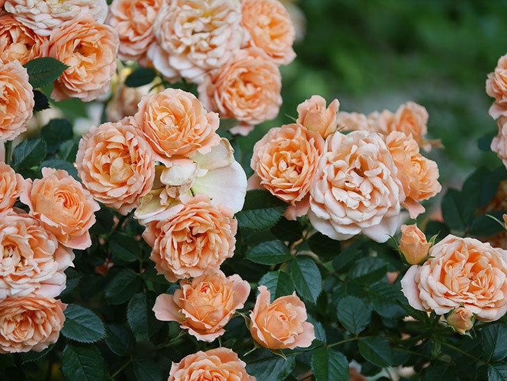 スイートドリーム(Sweet Dream)の花がたくさん咲いた。ツルバラ。2021年-098.jpg