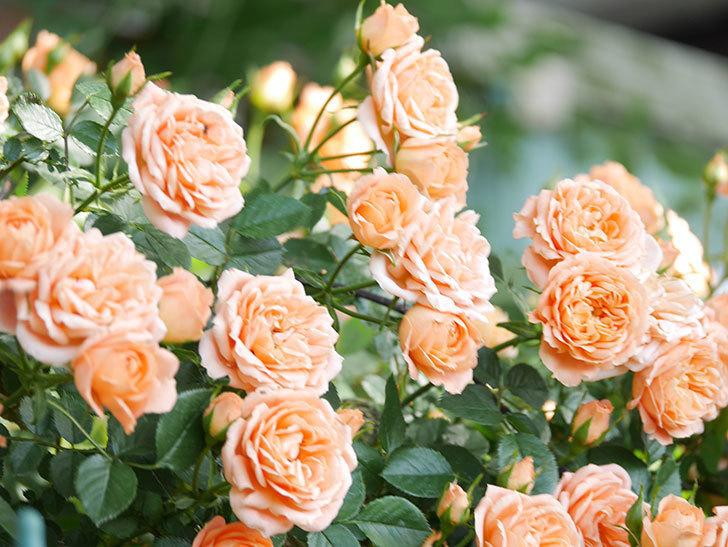 スイートドリーム(Sweet Dream)の花がたくさん咲いた。ツルバラ。2021年-099.jpg