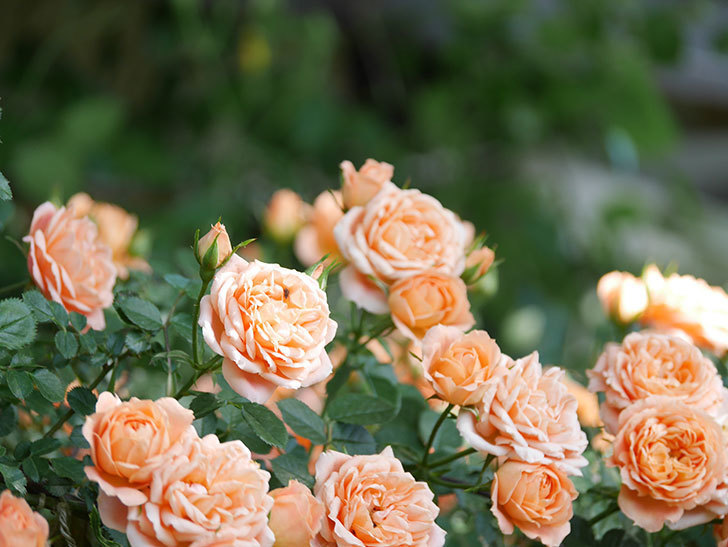 スイートドリーム(Sweet Dream)の花がたくさん咲いた。ツルバラ。2021年-100.jpg