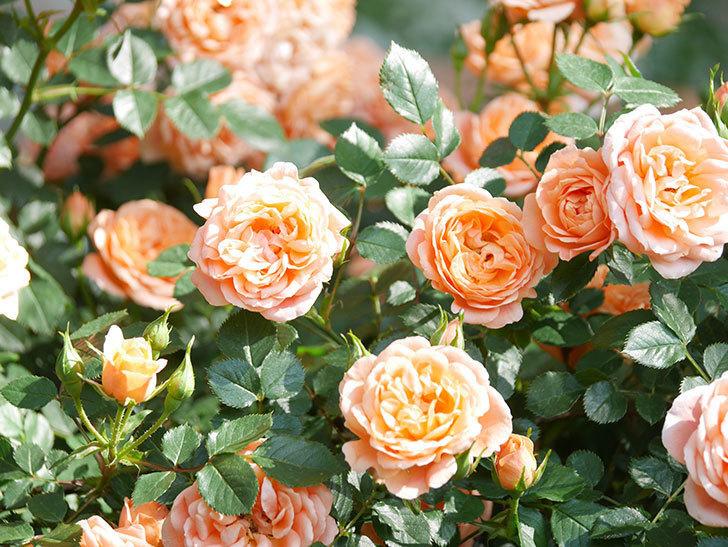 スイートドリーム(Sweet Dream)の花がたくさん咲いた。ツルバラ。2021年-101.jpg