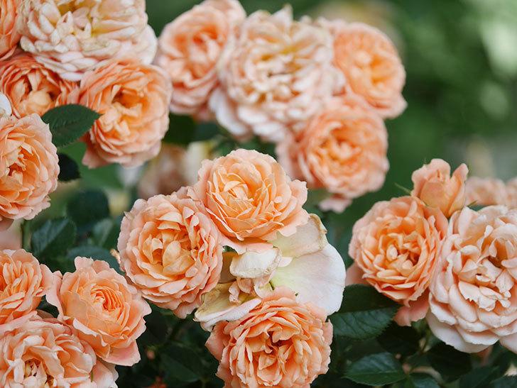 スイートドリーム(Sweet Dream)の花がたくさん咲いた。ツルバラ。2021年-102.jpg
