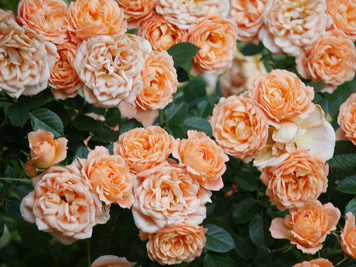 スイートドリーム(Sweet Dream)の花がたくさん咲いた。ツルバラ。2021年-103.jpg