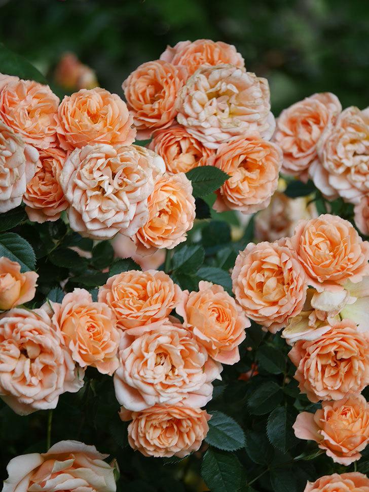スイートドリーム(Sweet Dream)の花がたくさん咲いた。ツルバラ。2021年-104.jpg