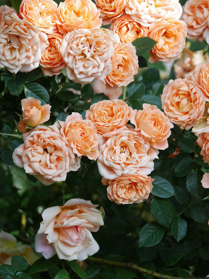 スイートドリーム(Sweet Dream)の花がたくさん咲いた。ツルバラ。2021年-105.jpg