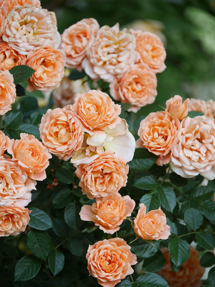 スイートドリーム(Sweet Dream)の花がたくさん咲いた。ツルバラ。2021年-106.jpg
