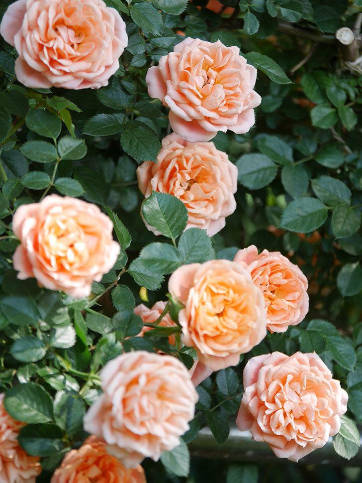 スイートドリーム(Sweet Dream)の花がたくさん咲いた。ツルバラ。2021年-107.jpg