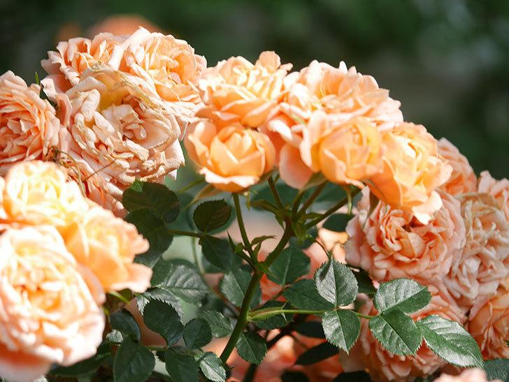 スイートドリーム(Sweet Dream)の花がたくさん咲いた。ツルバラ。2021年-108.jpg