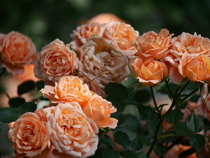 スイートドリーム(Sweet Dream)の花がたくさん咲いた。ツルバラ。2021年-109.jpg