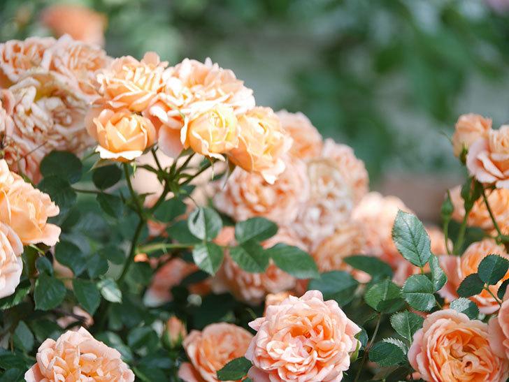スイートドリーム(Sweet Dream)の花がたくさん咲いた。ツルバラ。2021年-110.jpg