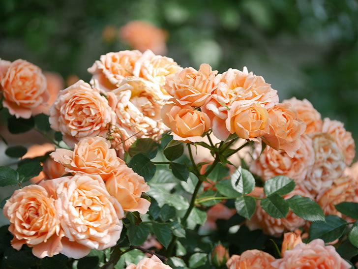 スイートドリーム(Sweet Dream)の花がたくさん咲いた。ツルバラ。2021年-111.jpg