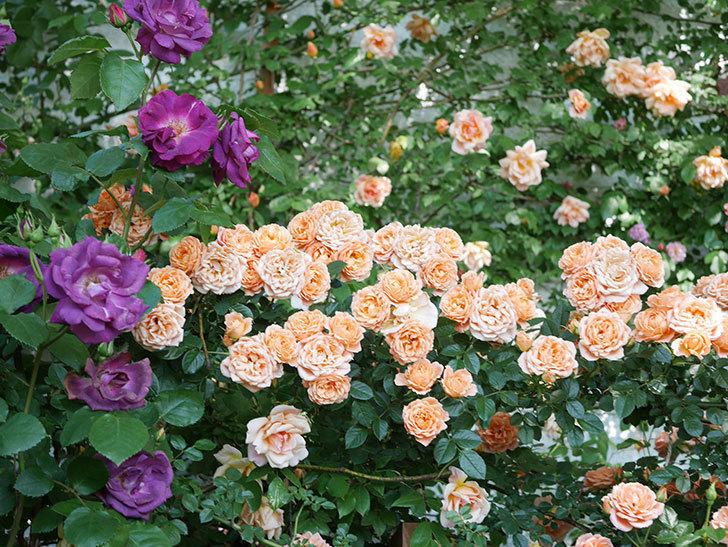 スイートドリーム(Sweet Dream)の花がたくさん咲いた。ツルバラ。2021年-112.jpg