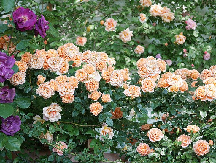 スイートドリーム(Sweet Dream)の花がたくさん咲いた。ツルバラ。2021年-113.jpg