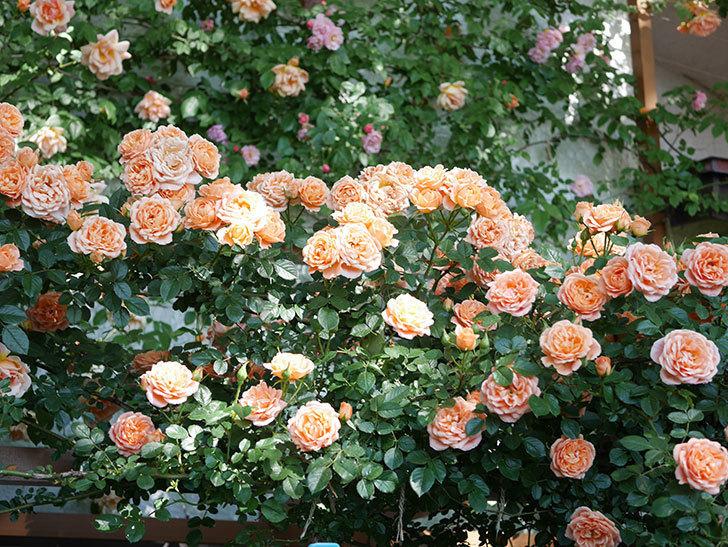 スイートドリーム(Sweet Dream)の花がたくさん咲いた。ツルバラ。2021年-114.jpg
