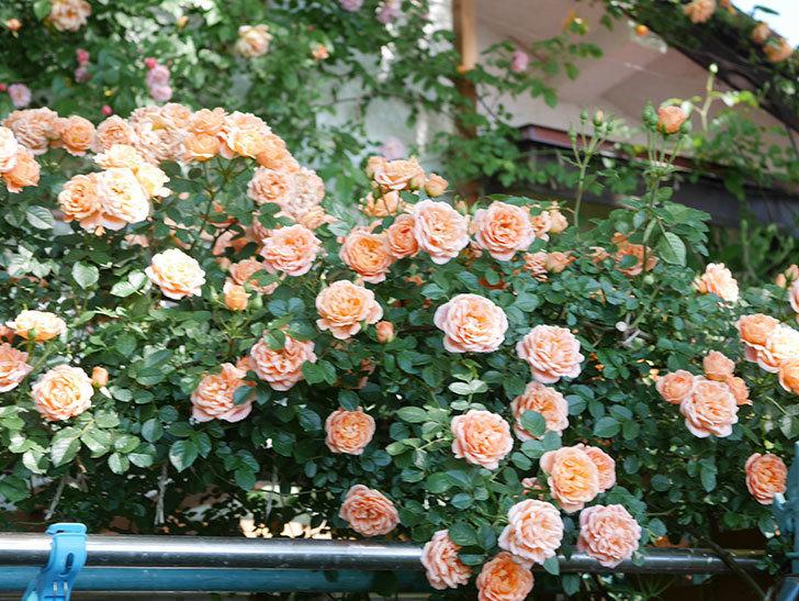 スイートドリーム(Sweet Dream)の花がたくさん咲いた。ツルバラ。2021年-115.jpg