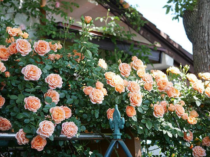 スイートドリーム(Sweet Dream)の花がたくさん咲いた。ツルバラ。2021年-116.jpg