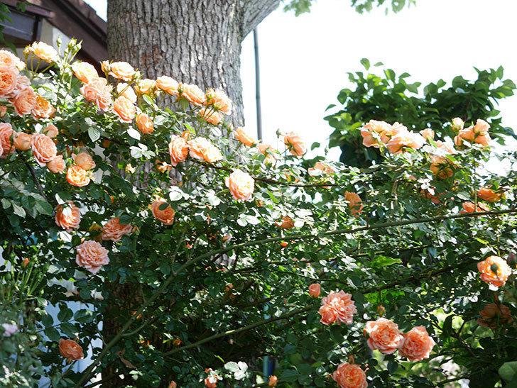 スイートドリーム(Sweet Dream)の花がたくさん咲いた。ツルバラ。2021年-117.jpg