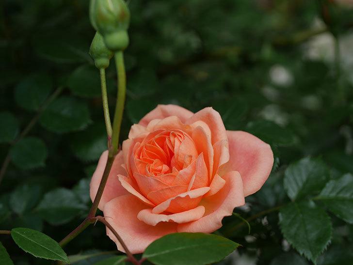 スイートドリーム(Sweet Dream)の花がぽつぽつ咲きだした。ツルバラ。2021年-002.jpg