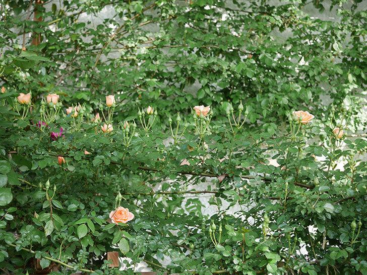 スイートドリーム(Sweet Dream)の花がぽつぽつ咲きだした。ツルバラ。2021年-005.jpg