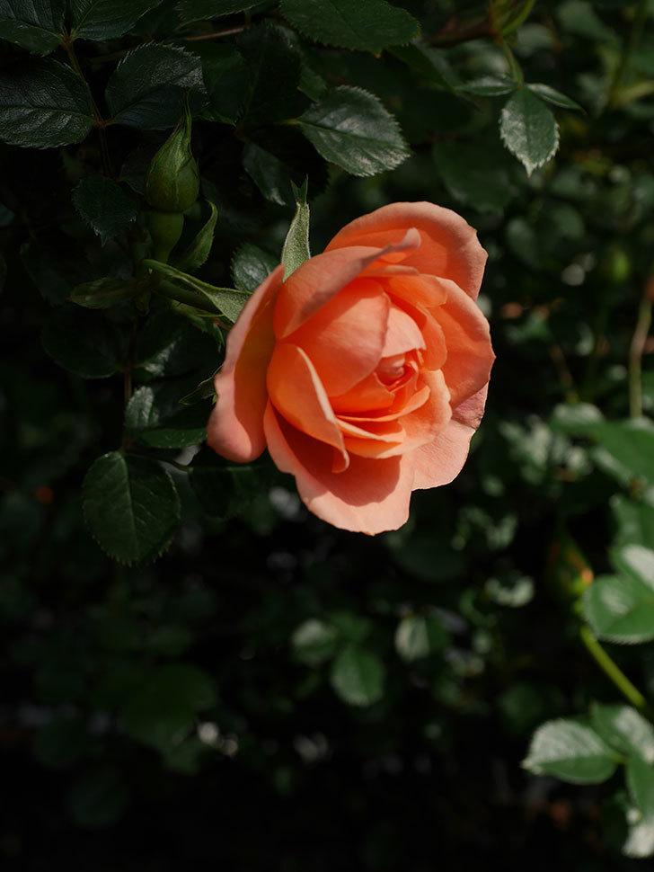スイートドリーム(Sweet Dream)の花がぽつぽつ咲きだした。ツルバラ。2021年-006.jpg