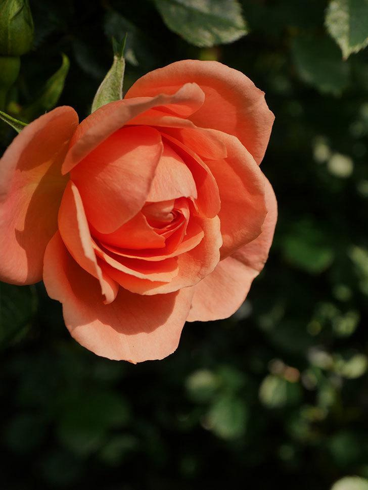スイートドリーム(Sweet Dream)の花がぽつぽつ咲きだした。ツルバラ。2021年-007.jpg