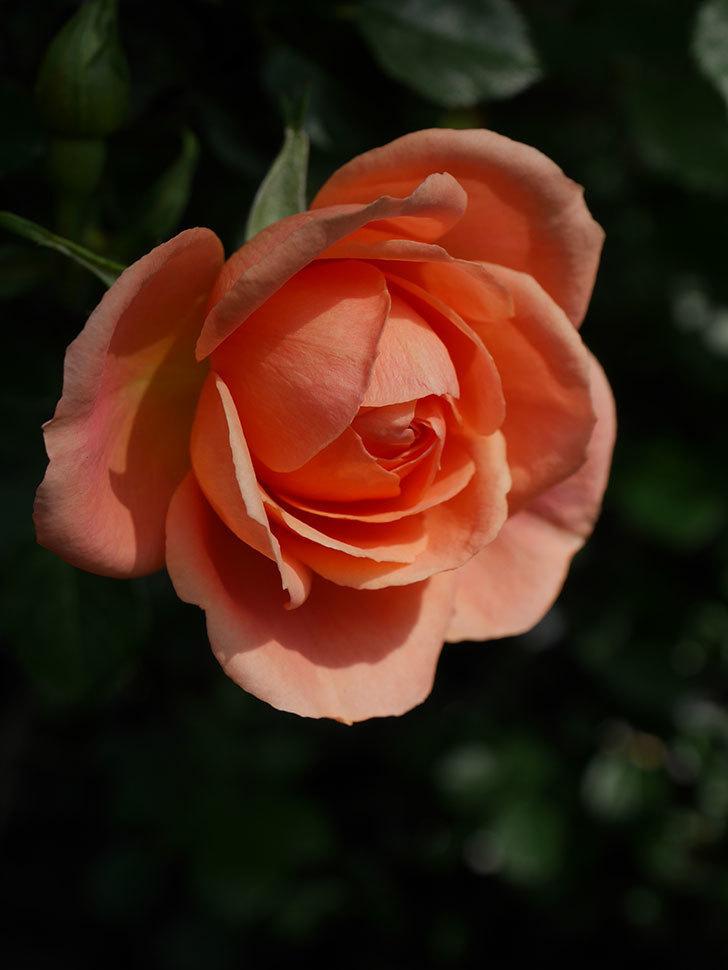 スイートドリーム(Sweet Dream)の花がぽつぽつ咲きだした。ツルバラ。2021年-008.jpg