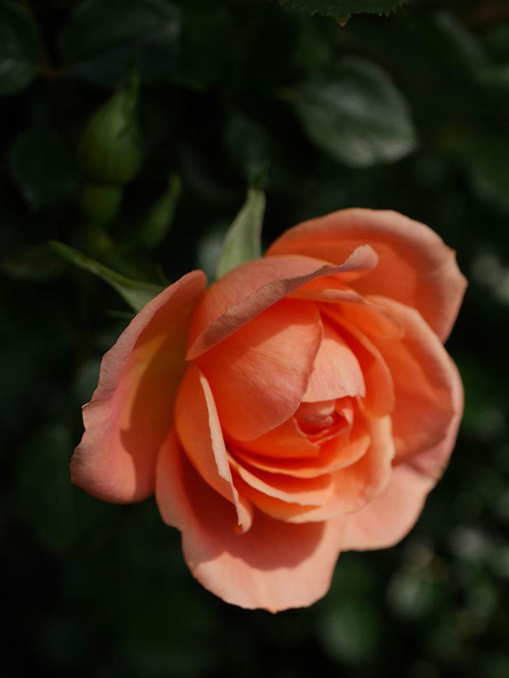 スイートドリーム(Sweet Dream)の花がぽつぽつ咲きだした。ツルバラ。2021年-009.jpg