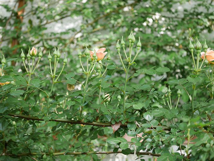 スイートドリーム(Sweet Dream)の花がぽつぽつ咲きだした。ツルバラ。2021年-011.jpg