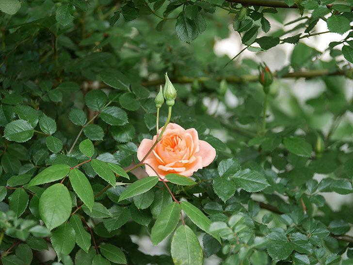 スイートドリーム(Sweet Dream)の花がぽつぽつ咲きだした。ツルバラ。2021年-012.jpg