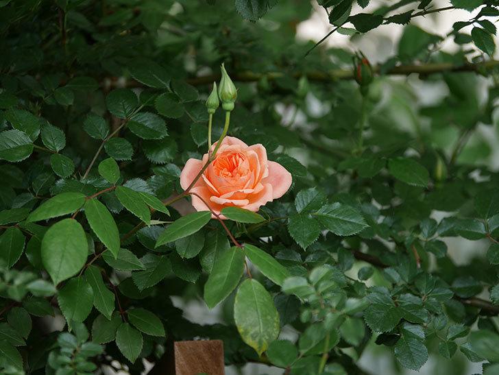 スイートドリーム(Sweet Dream)の花がぽつぽつ咲きだした。ツルバラ。2021年-013.jpg